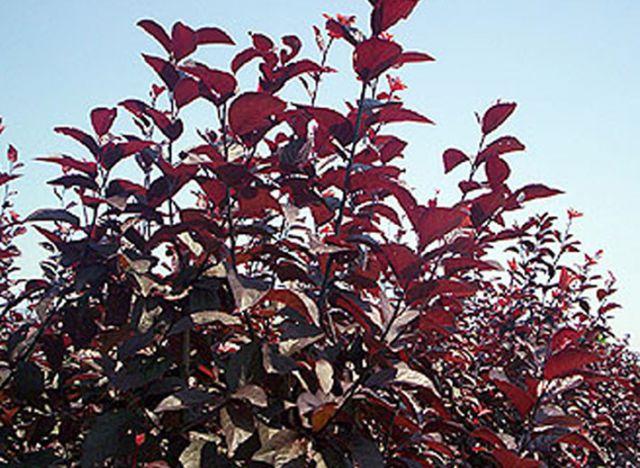 ДЕКОРАТИВНЫЕ растения «ПИССАРДИ, контейнер 7л, 2 года»
