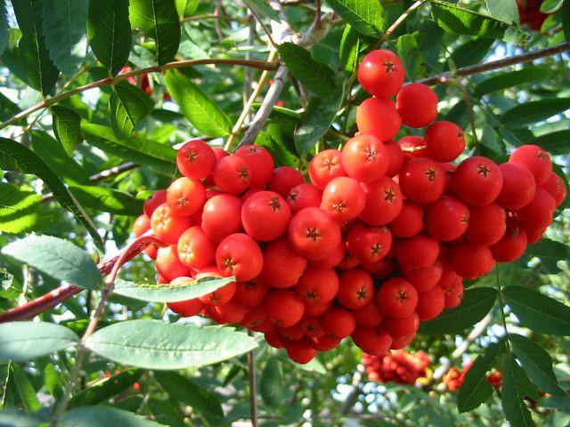 КРУПНОМЕРЫ. Декоративные растения «РЯБИНА обыкновенная, штамбовая, 4 года»