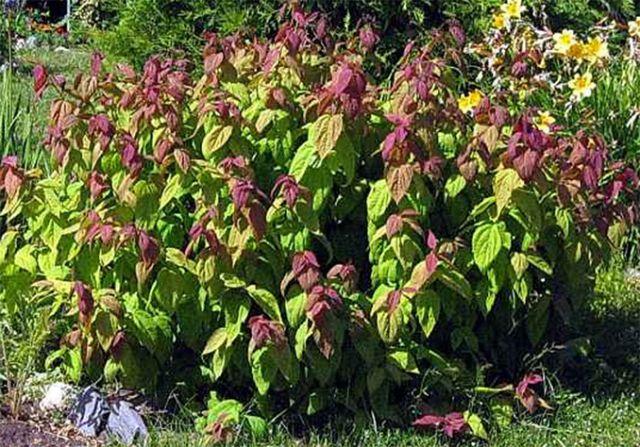 ДЕКОРАТИВНЫЕ растения «Спирея японская МАКРОФИЛЛА, 3 года»