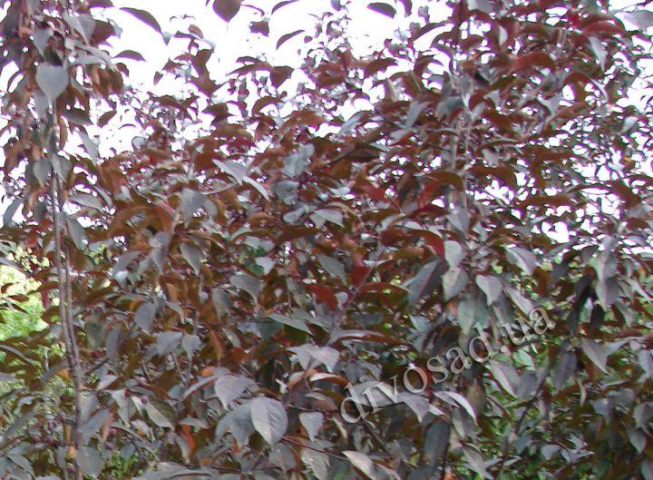 КРУПНОМЕРЫ. Декоративные растения «Яблоня РОЯЛТИ, 5 лет»