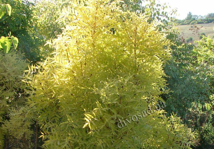 КРУПНОМЕРЫ. Декоративные растения «ЯСЕНЬ золотистый на штамбе, 5 лет»