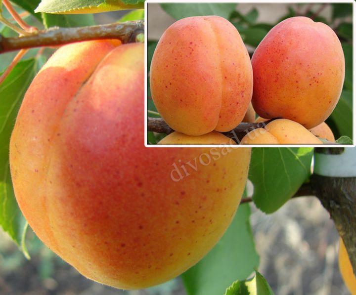 КРУПНОМЕРЫ. Плодовые деревья «Абрикос Особенный Денисюка, 3 года+ абрикос Петропавловский, Дерево-сад*»