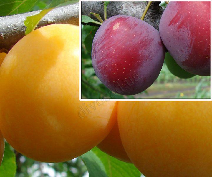 КРУПНОМЕРЫ. Плодовые деревья «Алыча  Гек, 3 года+ алыча Обильная, Дерево-сад*»