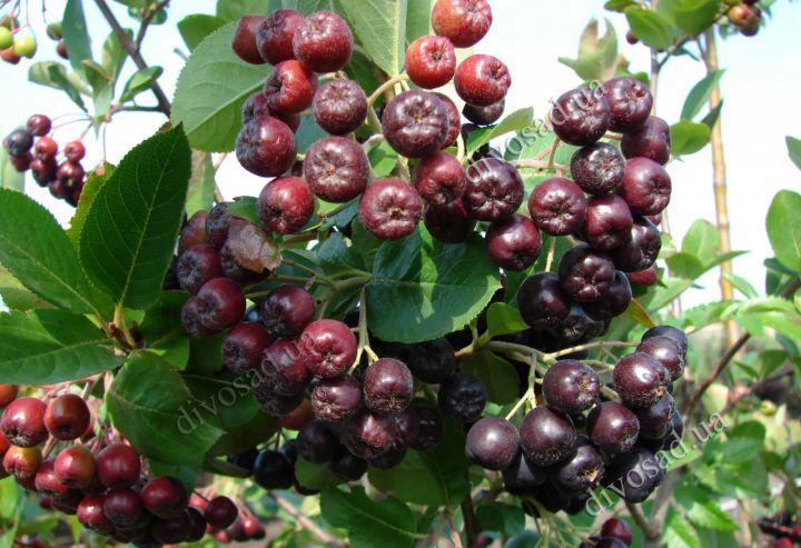 КРУПНОМЕРЫ. Плодовые деревья «АРОНИЯ привитая, штамб=50 см, 4 года»