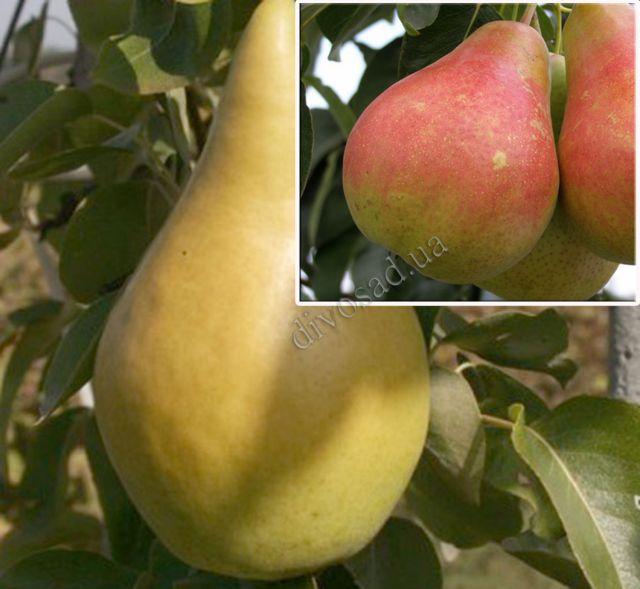 КРУПНОМЕРЫ. Плодовые деревья «Груша Богема,3 года+ Весильна, Дерево-сад»
