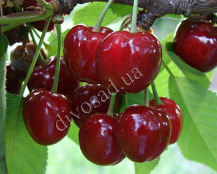 КРУПНОМЕРЫ. Плодовые деревья «Черешня ВАСИЛИСА, 5 года»