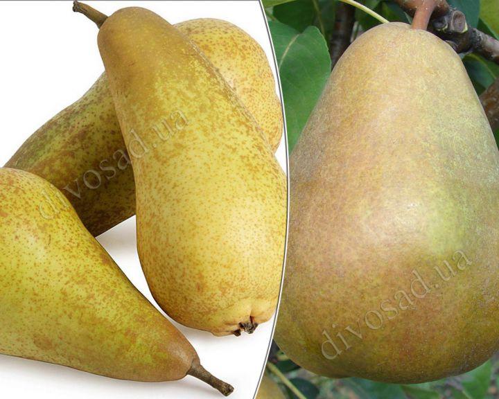 КРУПНОМЕРЫ. Плодовые деревья «Груша Аббат Фетель+Стрийская, 3 года»