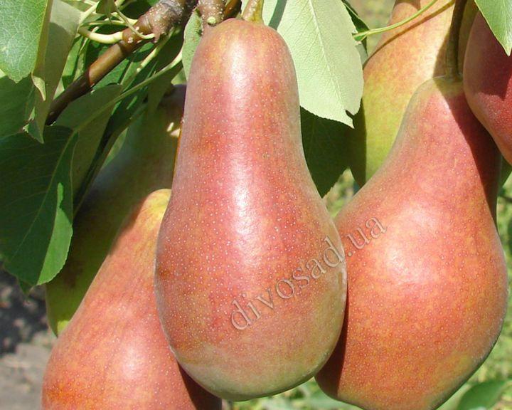 КРУПНОМЕРЫ. Плодовые деревья «Груша ТАЛГАРСКАЯ КРАСАВИЦА, 3 года, подвой груша»