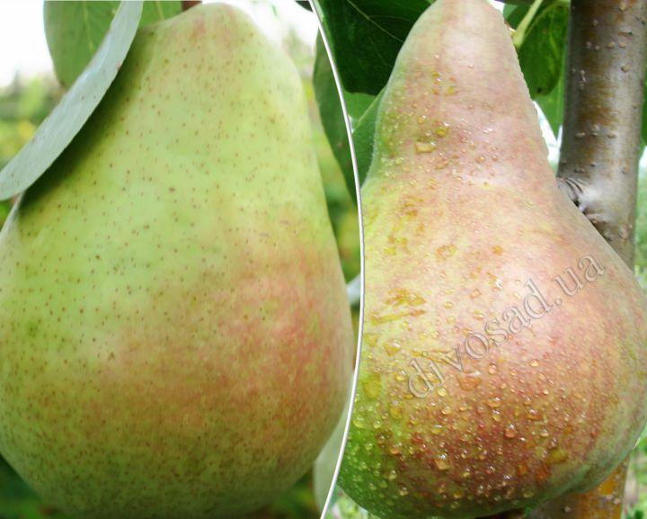 КРУПНОМЕРЫ. Плодовые деревья «Груша ЯНТАРНАЯ+ВИКТОРИЯ, 4 года»