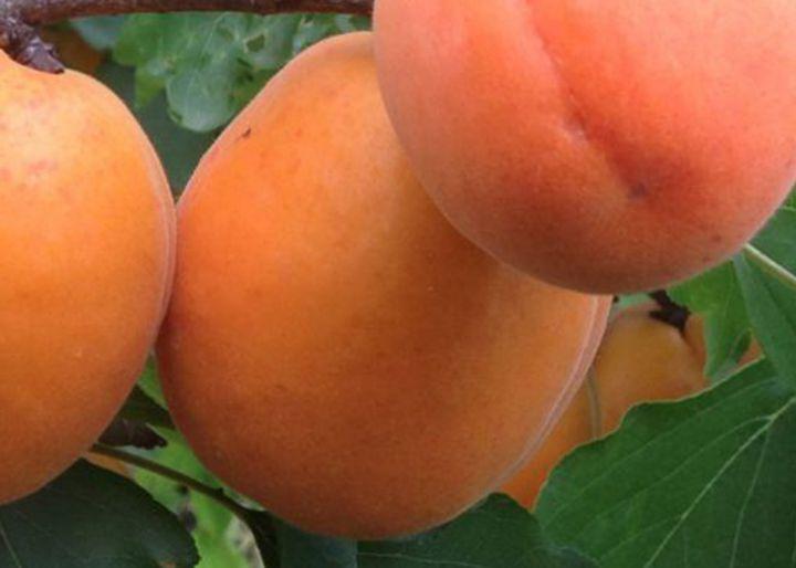 КРУПНОМЕРЫ. Плодовые деревья «Абрикос МЕДИАБЕЛЬ, 3 года»