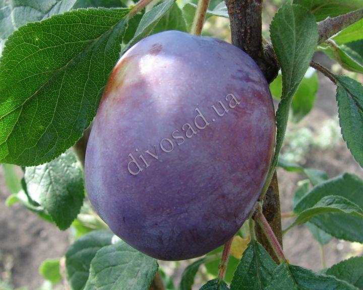 КРУПНОМЕРЫ. Плодовые деревья «Слива АННА ШПЕТ, 5 лет»