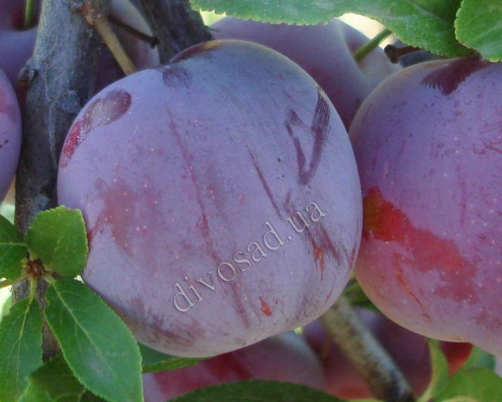 КРУПНОМЕРЫ. Плодовые деревья «Слива РЕНКЛОД АЛЬТАНА»
