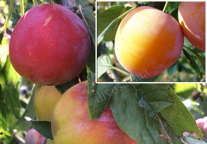 КРУПНОМЕРЫ. Плодовые деревья «Слива Супериор, 3 года+ слива Байрон Голд, Дерево-сад»