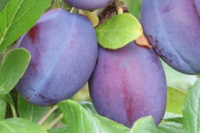 КРУПНОМЕРЫ. Плодовые деревья «Слива ВАЛОР, 3лет»