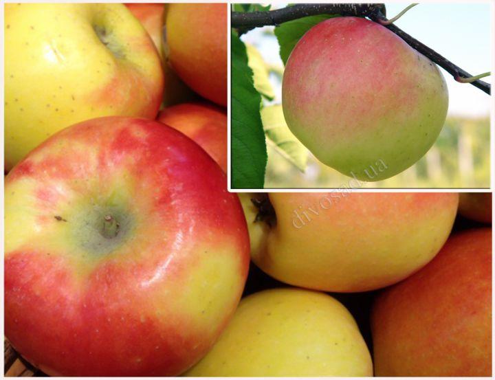 КРУПНОМЕРЫ. Плодовые деревья «Яблоня КАНЗИ, 3 года+ СКИФСКОЕ ЗОЛОТО, Дерево-сад»