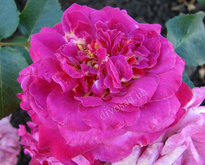 Роза ПАРКОВАЯ «АГНЕС ШИЛЛИНГЕР»