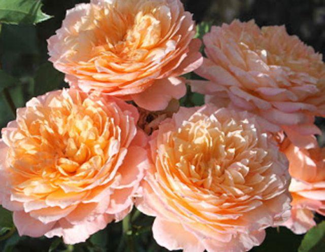 Роза ПАРКОВАЯ «АНДРЕ ТЮРКА»