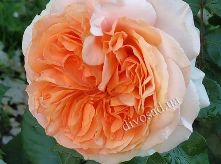 Роза ПАРКОВАЯ «ЧИППЕНДЕЙЛ»