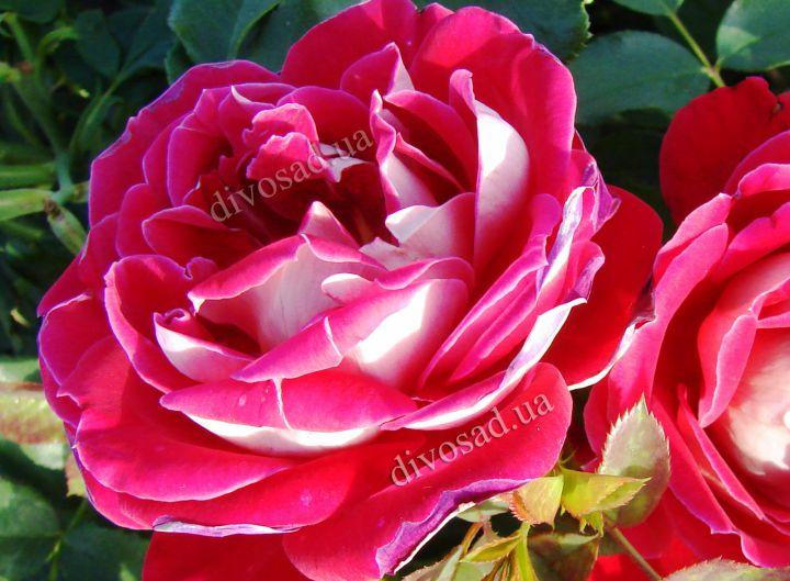 Роза ПАРКОВАЯ «БЕЛЬ ДЕ СЕГОЗА»