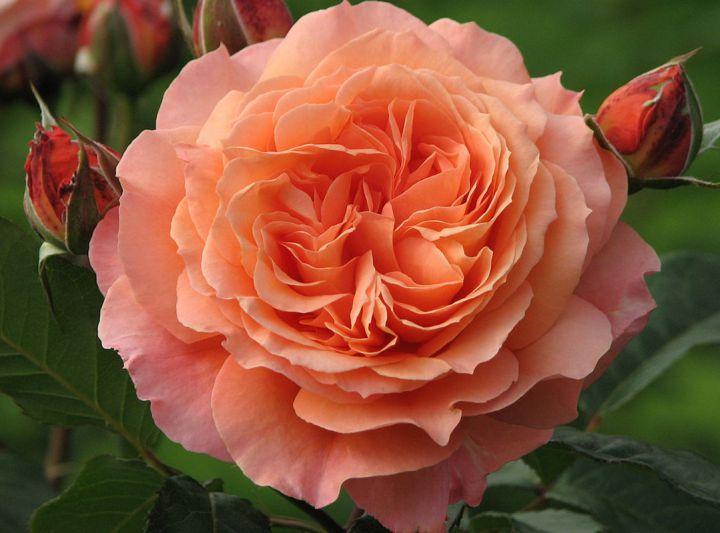 Роза ПАРКОВАЯ «БЕЛЬВЕДЕР»