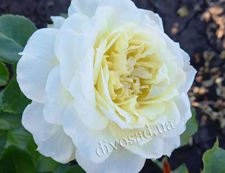 Роза ПАРКОВАЯ «ЧАЙКОВСКИЙ»