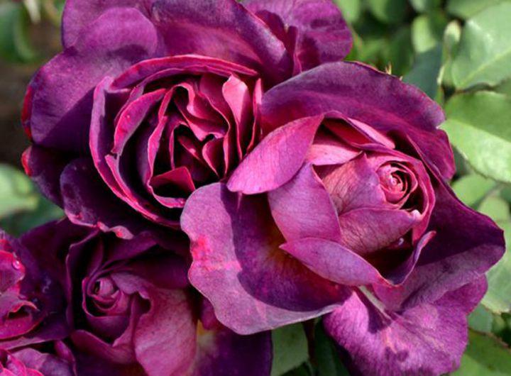 Роза ПАРКОВАЯ «ДЬЯБЛЕС ДЕ МЕР»
