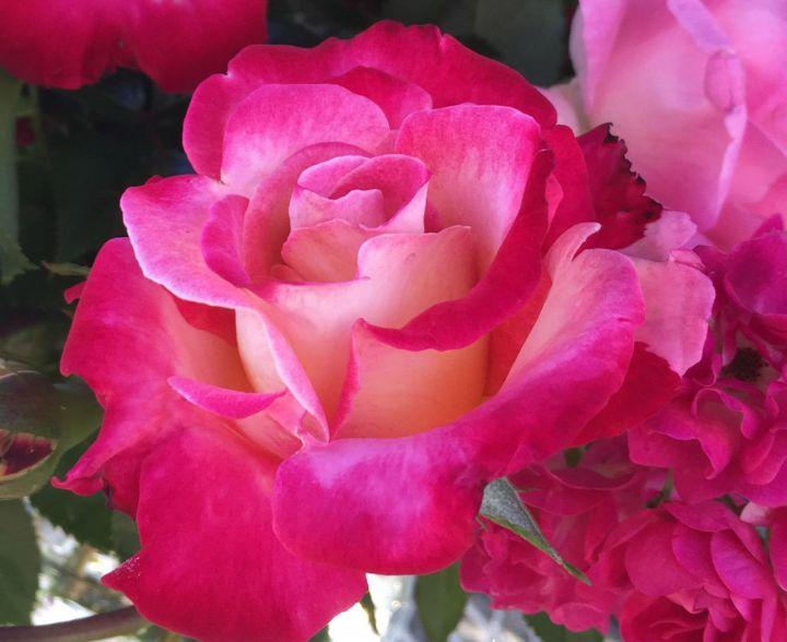 Роза ПАРКОВАЯ «ДИК КЛАРК»