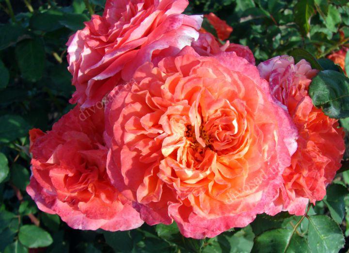 Роза ПАРКОВАЯ «ЭМИЛЬЕН ГИЙО»