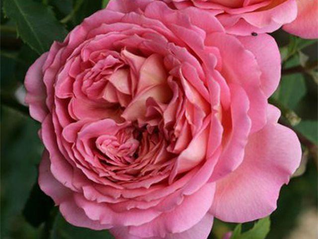 Роза ПАРКОВАЯ «ЛАДЮРЕ / LADUREE»
