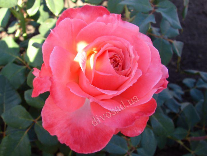 Роза ПАРКОВАЯ «ЛОРАН КАБРОЛЬ»