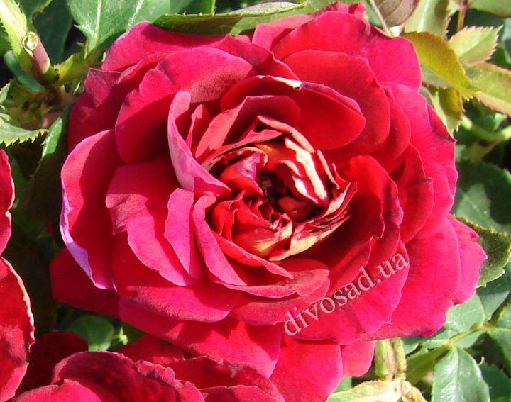 Роза ПАРКОВАЯ «ЛУИ ФРАНСИЯ»
