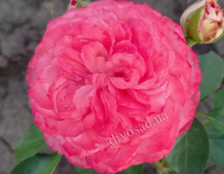 Роза ПАРКОВАЯ «ЛУИЗ ОДЬЕ»