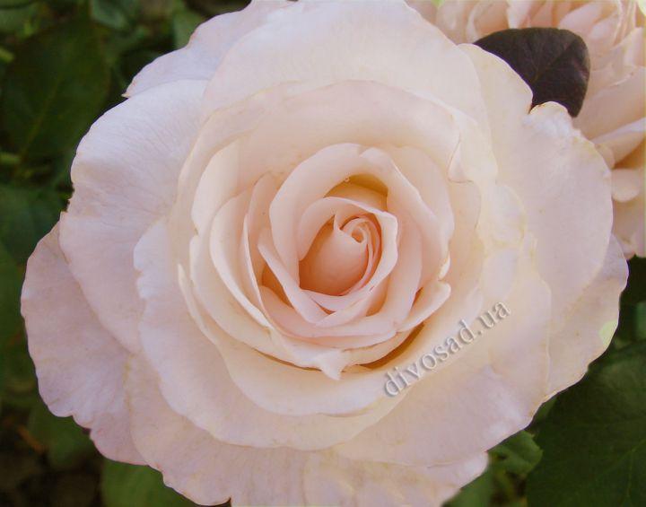 Роза ПАРКОВАЯ «МАРТИН ГИЙО»