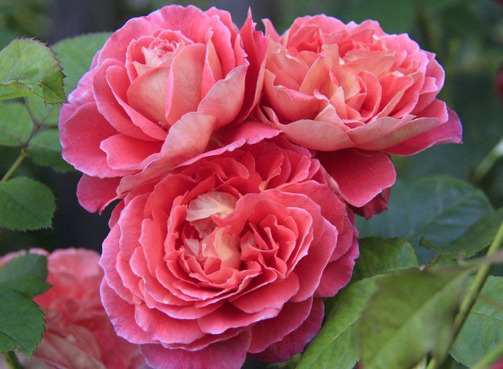 Роза ПАРКОВАЯ «НОТР ДАМ ДЮ РОЗЭР (Guillot)»