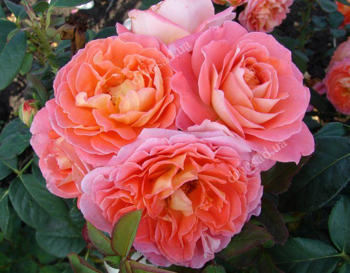 Роза ПАРКОВАЯ «НОТР ДАМ ДЮ РОЗЭР»
