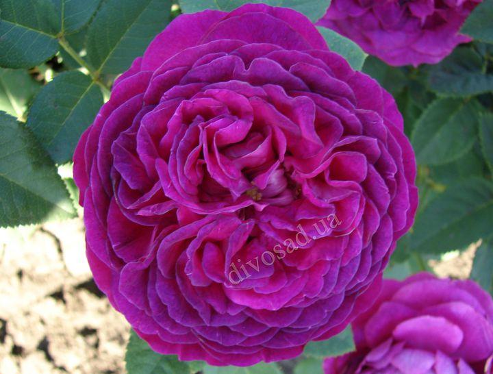 Роза ПАРКОВАЯ «ПАЛЕ БИРОН»