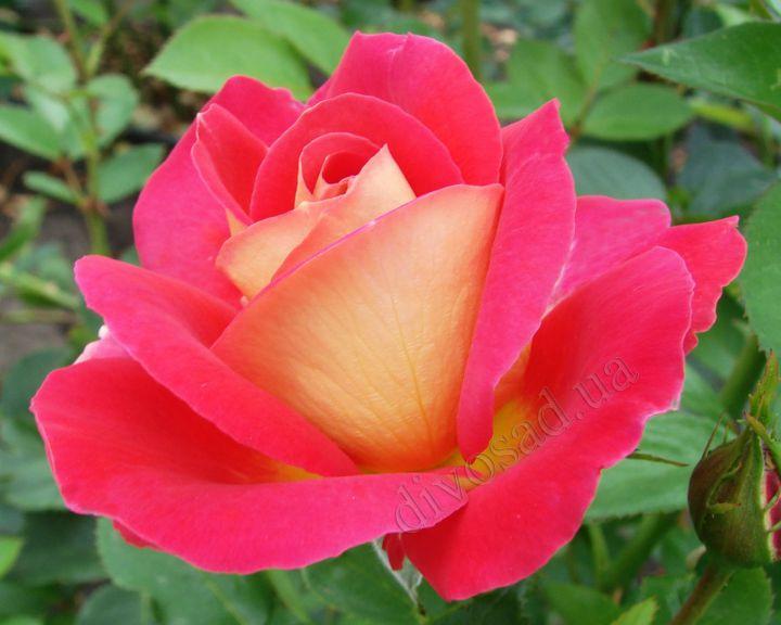 Роза ПАРКОВАЯ «ДЕКОР АРЛЕКИН (Meilland)»