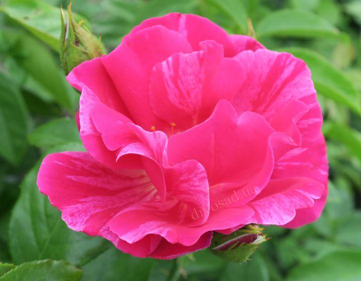 Роза ПАРКОВАЯ «ГИ САВОЙ (Delbard)»