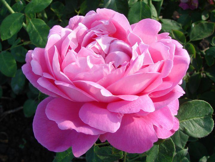 Роза ПАРКОВАЯ «ПОЛЬ НЕЙРОН»