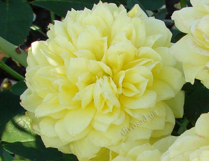 Роза ПАРКОВАЯ «ТАХИТИАН МУН»