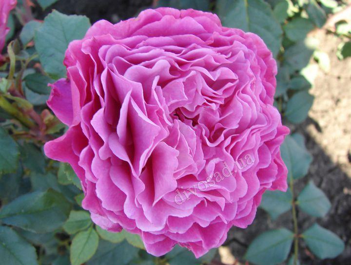 Роза ПАРКОВАЯ «ВЕНТИЛО»