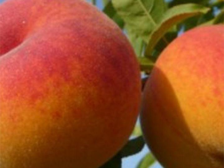 ПЕРСИК «Перкоче РОМЕА - гибрид персик+абрикос, 2 года»