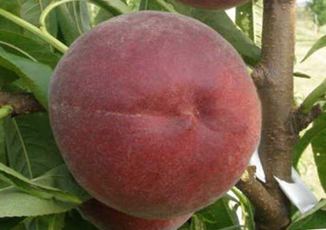КРУПНОМЕРЫ. Плодовые деревья «Персик РОЯЛ МАДЖЕСТИК, 3 года»