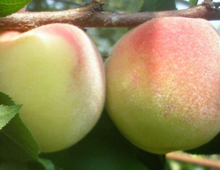 КРУПНОМЕРЫ. Плодовые деревья «Персик СОЧНЫЙ, 4 года»