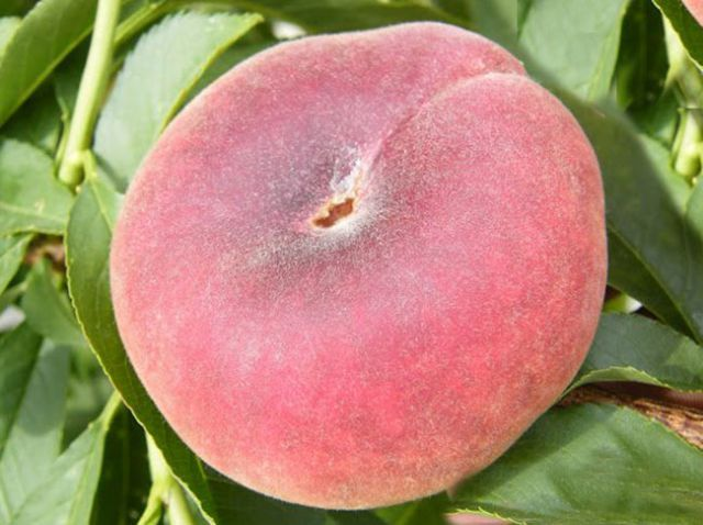 КРУПНОМЕРЫ. Плодовые деревья «Персик СВИТ РИНГ, 3 года»