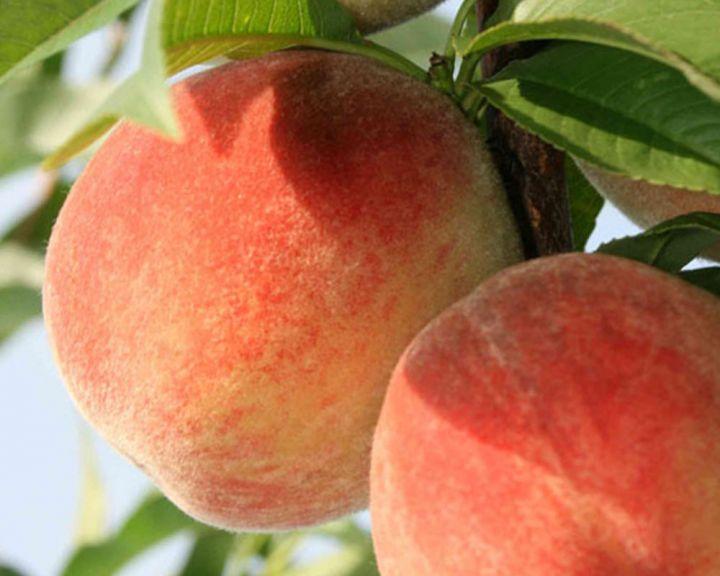 сорта персика в украине