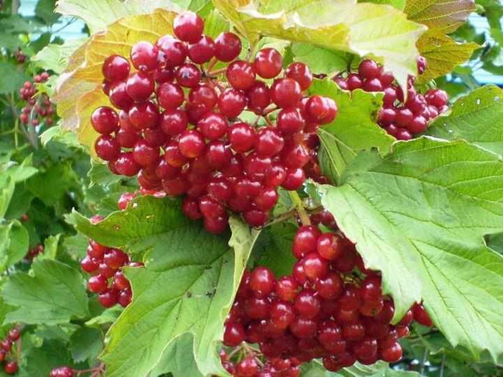 КРУПНОМЕРЫ. Плодовые деревья «КАЛИНА САДОВАЯ, 2 года»