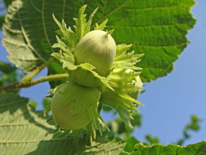 КРУПНОМЕРЫ. Плодовые деревья «ЛЕЩИНА, 4 года»