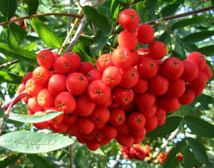 *КРУПНОМЕРЫ. Плодовые деревья «Рябина  АЛАЯ КРУПНАЯ (сладкая) штамбовая, 3 года»