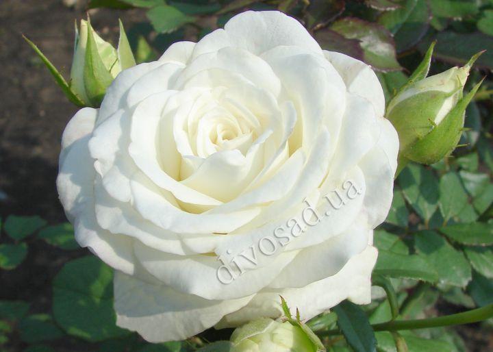 Роза акито фото и описание